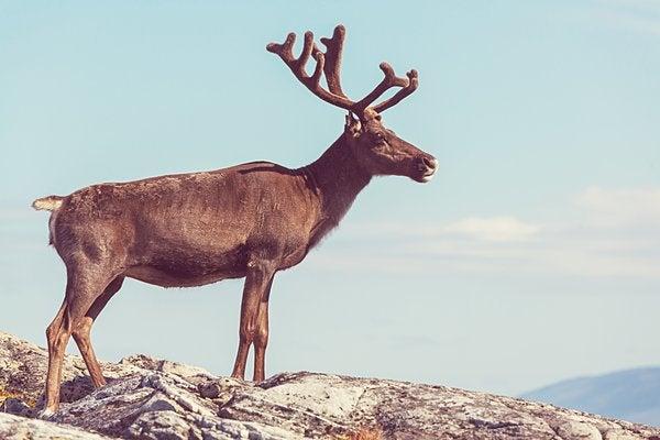 とても太い角をした鹿がかっこいい