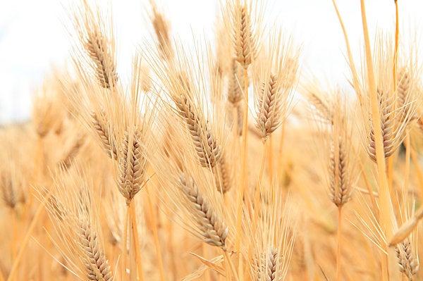 実は人類にとってなじみ深い食材「もち麦」