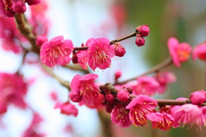 写真・図版 | 1本の梅の木に白と...